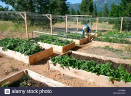 usa california man working in raised bed vegetable garden at