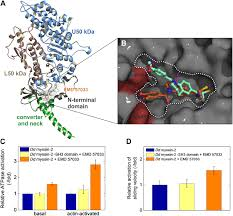 small molecule mediated refolding and activation of myosin motor