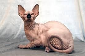 Hairless Cat Meme - hairless cat blank template imgflip