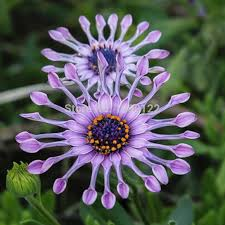100pcs blue hardy plants flower seeds ornamental