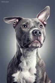 pitbull halloween background 117 best pitbulls images on pinterest animals pitt bulls and dogs