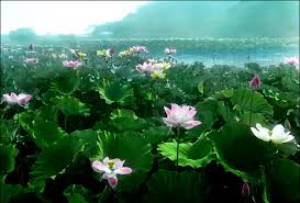 images lotus pond