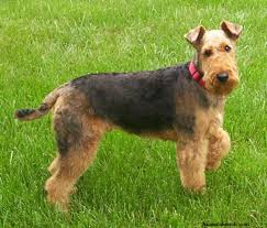 american pitbull terrier qualities the airedale terrier evolved from the extinct black and tan type