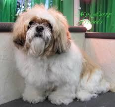 shih poo haircuts my furry friends pet grooming self serve pet wash before