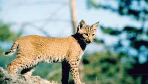 Pennsylvania wild animals images Species of bobcats in pennsylvania sciencing jpg