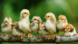 raising chickens to breed homestead handbook