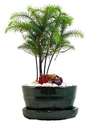 norfolk island pine bonsai tree ornaments norfolk