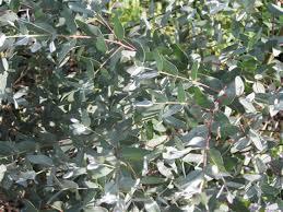 silver drop eucalyptus learn2grow