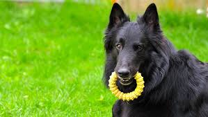 belgian sheepdog laekenois 5 things to know about groenendaels petful