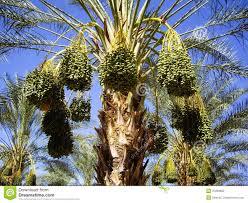 Palm Trees Fruit - fruit trees california home decorating interior design bath
