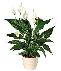 16 best top indoor clean air plants images on pinterest indoor