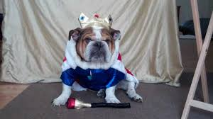 english bulldog halloween costumes english bulldog jake dressed as a king and he is not happy youtube