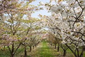 how to grow cherry blossoms carol klein mirror