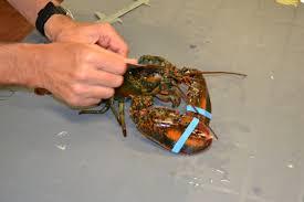 lobster tagging 101