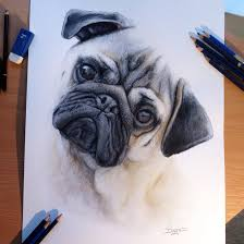 drawn pug color pencil and in color drawn pug color
