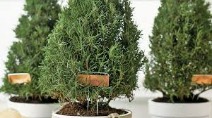 christmas plants 9 best christmas plants how to care for christmas flowers
