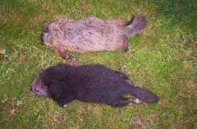 animal evictions llc professional woodchuck groundhogtrapping
