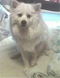 american eskimo dog vs pomeranian american eskimo dog breed pictures 3