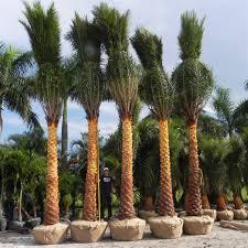 sylvester palm tree price sylvestris sylvestris palmco wholesale palms florida