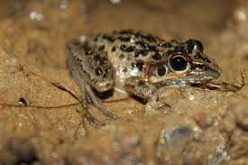 frogs of nsw gumnut naturalist