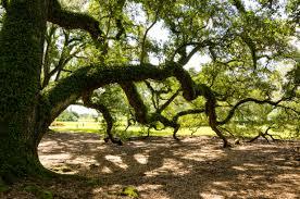 oak tree free image peakpx