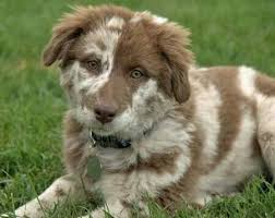 australian shepherd lab mix puppy 23 best perfect images on pinterest