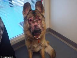 put dog to sleep horrifying pictures show pitiful state of pet alsatian that had to