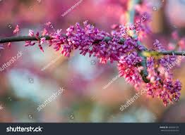 cluster redbud tree flowers on branch stock photo 383246125