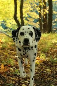 milo moo u0026 chugger adorable dalmatians