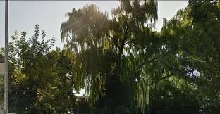 opinion community garden members seek to save towering willow
