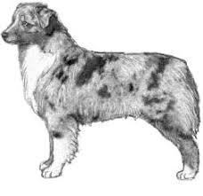 australian shepherd ear types shalako australian shepherd illustrated breed standard neckandbody