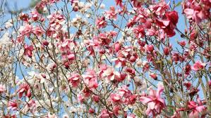 which flowers are the signs of spring in your garden stuff co nz