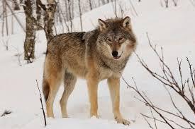 eurasian wolf wikipedia