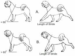 Front Of The Shoulder - angulation and movement in the lhasa apso