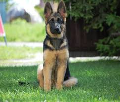 belgian shepherd 2 months do german shepherds u0027turn u0027 on their owners
