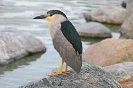 black crowned night heron infowpb com