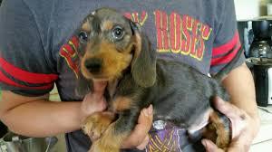 11 bluetick coonhound puppies in a bathtub dachshund dog shipping rates u0026 services