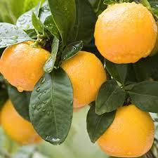 orange tree fruit trees plants edible garden the home depot