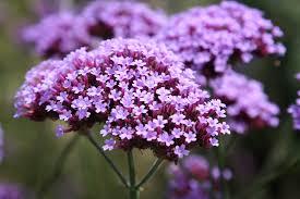 amboise daily photo tiny purple flowers
