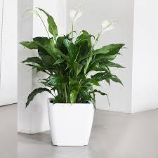 Peace Lily Peace Lily U2013 Plantshop Ae