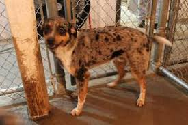 australian shepherd catahoula mix blog posts city dogs rescue washington dc