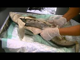 shark dissection youtube