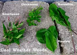 Chickens For Backyards by Weeds 101 A Nutritious Free Treat For Your Backyard Chickens