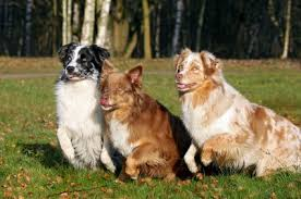 images of australian shepherd australian shepherd puppies information behavior and training