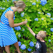 cape cod hydrangea festival cape cod events