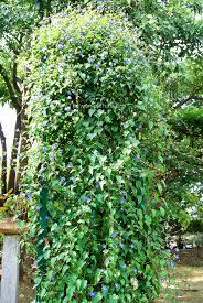 jacquemontia pentanthos skyblue clustervine
