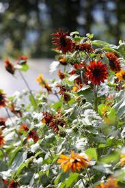 field guide sunflowers gardenista sourcebook for outdoor