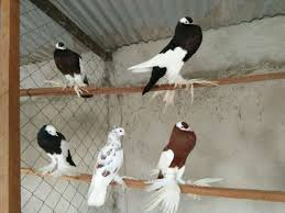 birds for sale in nairobi pigiame