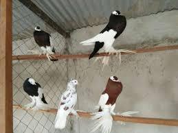 birds for sale in nairobi pigiame