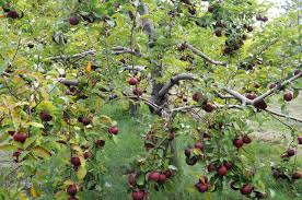 choosing heritage apple varieties for an edible forest garden